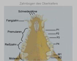 zahnbogenoberkiefer